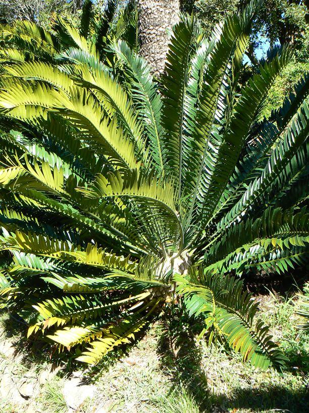 _P1350808_Encephalartos altensteinii