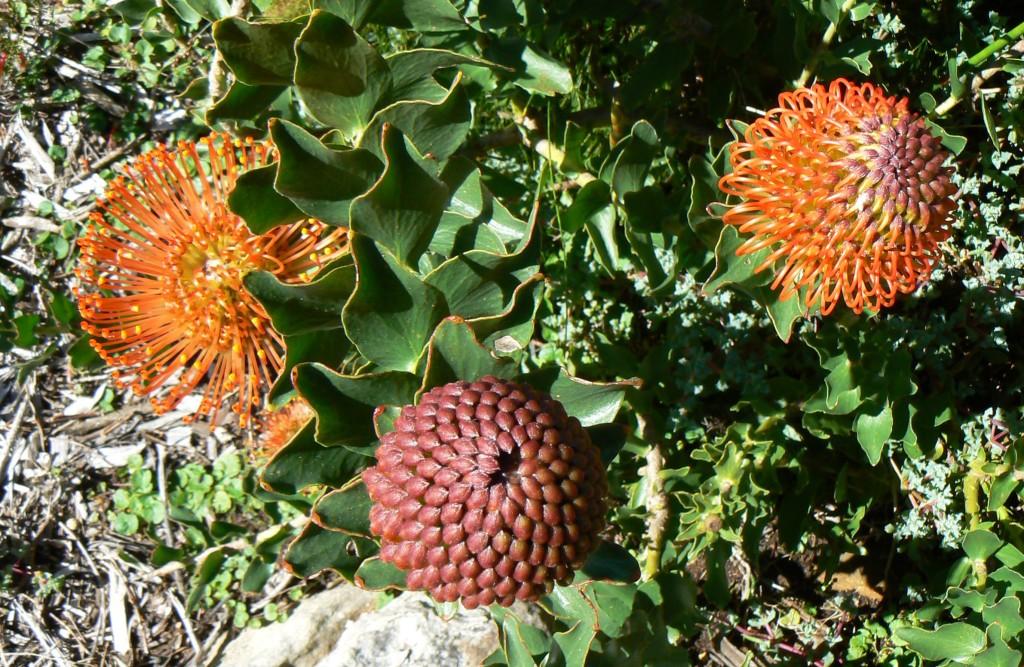_P1350844_Leucospermum cordifolium