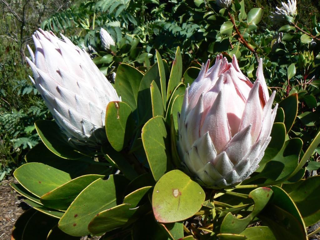 _P1350910_Protea cynaroides